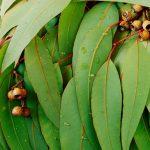 gum-leaves